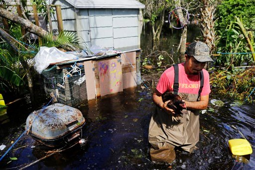(AP Photo/David Goldman). Jose Encarnacion pulls a chicken out from a cage as he retrieves belongings from his flooded home following Hurricane Irma in Bonita Springs, Fla., Tuesday, Sept. 12, 2017.