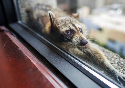 Climbing MPR Raccoon has been trapped