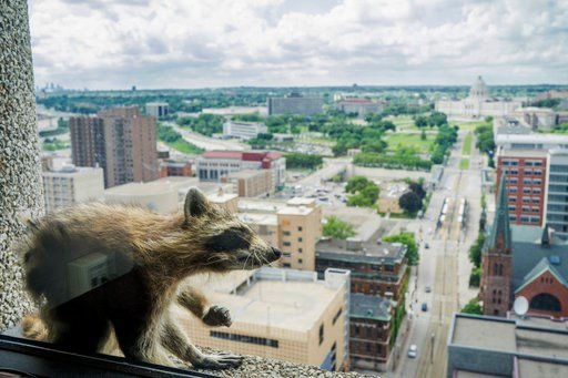 A raccoon stretches itself on the window sill of the Paige Donnelly Law Firm on the 23rd floor of the UBS Tower in St. Paul Minn. Tuesday